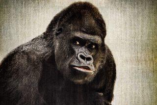 Los científicos descubren la verdadera razón por la que los gorilas se golpean el pecho