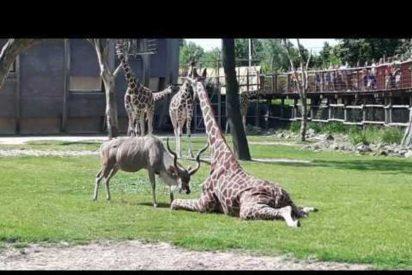 [VÍDEO] El despiadado ataque de un antílope a una distraída jirafa