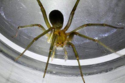 El vecino de Madrid que se ha encontrado en el baño de su casa a una venenosa araña 'violinista'
