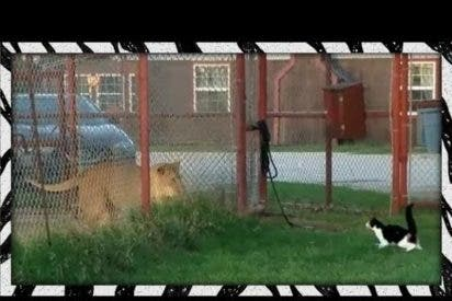 [VÍDEO] La impresionante gata que planta cara a una leona