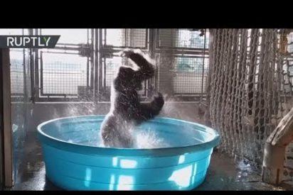 [VÍDEO] El impresionante baile de este gorila se vuelve viral en la Red