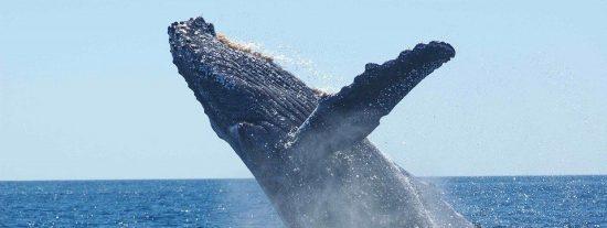 [VÍDEO] Una ballena sale a la superficie peligrosamente cerca de un barco
