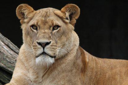 [VÍDEO] El insólito caso de una leona que ha adoptado a una cría de antílope