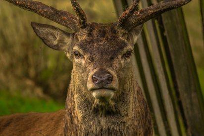 [VÍDEO] La espectacular pelea entre estos dos ciervos desconcierta a los científicos