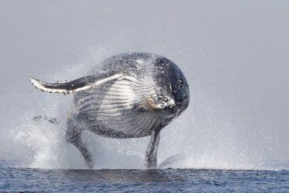 El baile viral de la ballena jorobada