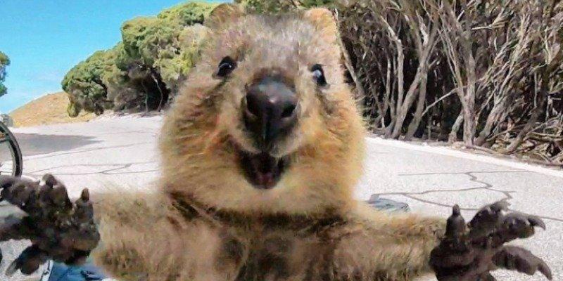 Las 10 curiosidades del Quokka, el animal más feliz del mundo