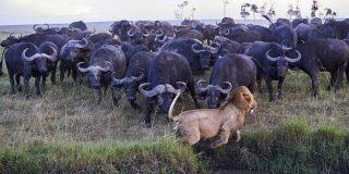 Combate animal: ¿gana el león o el búfalo?