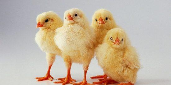 Animal: la espantosa vida del pollo