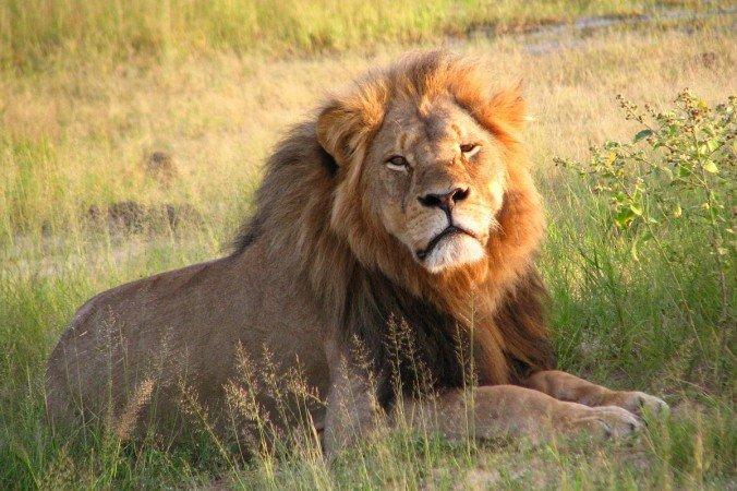 Unos cazadores matan a Xanda, el hijo del león Cecil... que acababa de ser padre de 6 cachorros
