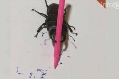 """[VÍDEO] El hilarante escarabajo """"artista"""" que enloquece las redes sociales"""