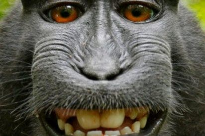 Este mono denuncia a un fotógrafo por los derechos de este selfie