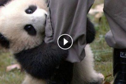 [VÍDEO] El osito panda que no puede separarse de su cuidador, enternece las redes