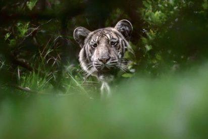"Logran fotografiar a un ""tigre pálido"" por primera vez en la historia"