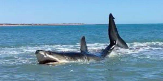 [VÍDEO] ¡Susto playero! Se encuentra un enorme tiburón blanco en la orilla