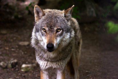 Descubren un lobo cubierto de oro en el corazón de México