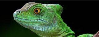 Desvelan el secreto de los lagartos para poder respirar bajo el agua