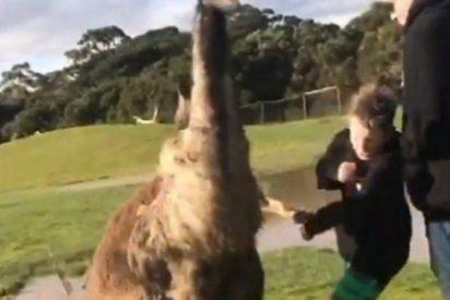 [VÍDEO] Un canguro le parte la cara a un niño y sus padres estallan de risa