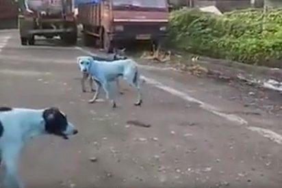 [VÍDEO] El misterio de los perros callejeros de la India que se volvieron azules