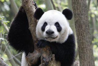 Oso Panda: muy bonito, pero un cabrón de cuidado