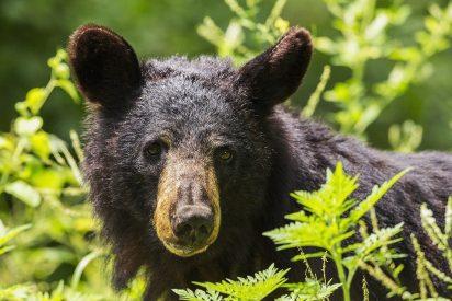 [VÍDEO] Los dos 'descerebrados' que se enfrentan a un oso que les intenta robar su barbacoa