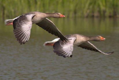 Descubren en los gansos el truco para reducir el gasto en combustible en los aviones