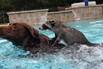 [VÍDEO] El mapache y el perro que nadan juntos en una piscina enternecen las redes