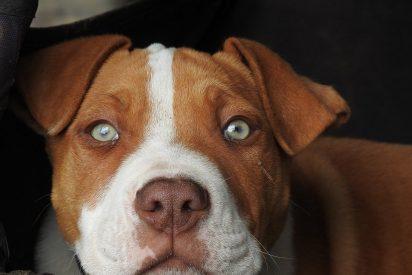[VÍDEO] Un Pitbull mata a un perrito frente a la mirada impasible de su dueño y decenas de espectadores