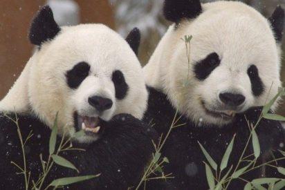 Indignación las redes sociales por el 'maltrato' a dos crías de oso panda