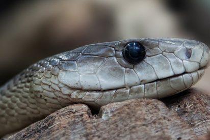 [VÍDEO] Esto es lo que pasa cuando juegas con una serpiente venenosa