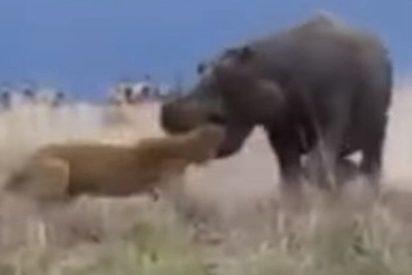 [VÍDEO] Esta leona casi pierde la cabeza por un fuerte y poderoso hipopótamo , y no precisamente por amor