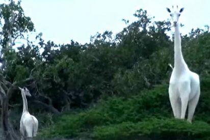 [VÍDEO] Por primera vez captan a dos hermosas jirafas blancas en Kenia ¡eran madre e hija!