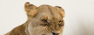 La leona casi pierde la cabeza por el hipopótamo y no precisamente por amor