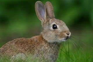 Cocina cómica: conejo salteado y faisán trufado