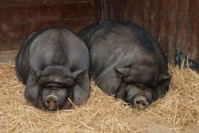 [VÍDEO] El «cerdolí», una amenaza medioambiental en España