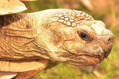[VÍDEO] ¡Insólito!: Hallan una enorme tortuga de 700 kilos en una playa española