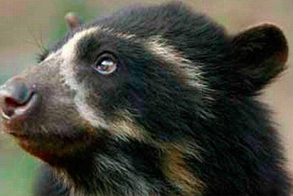 [VÍDEO] Este travieso osito de anteojos que vive en Machu Picchu lo peta en las redes