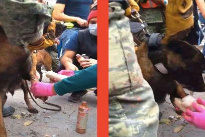 [VÍDEO] La perrita heroína que salvó a un hombre y quedó herida