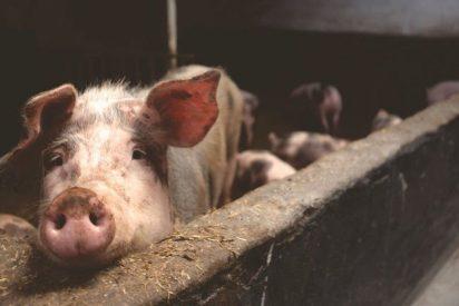 [VÍDEO] Los cerdos mutantes de una granja en Camboya