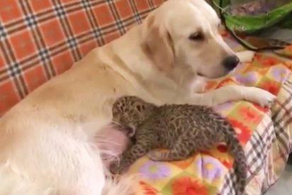 [VIDEO] Esta perra amamanta a un leopardo para salvarle la vida