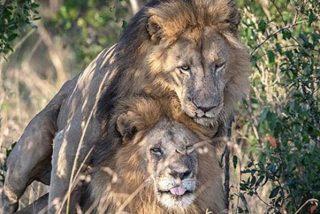 El Gobierno de Kenia culpa al turismo gay de un 'rollo' sexual entre leones machos