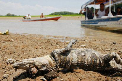 [VIDEO] La sequía mata a caimanes y reses por decenas en Brasil