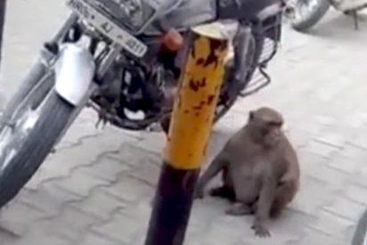 [VIDEO] Este mono adicto a la gasolina tiene a motoristas en jaque en la India
