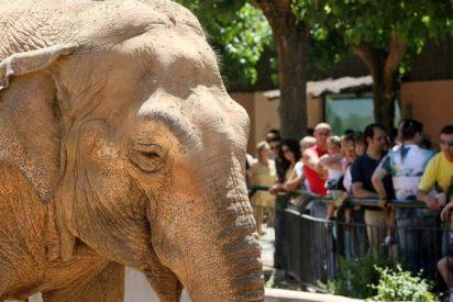 Flavia, la triste elefanta que lleva 40 años solita en el zoo de Córdoba
