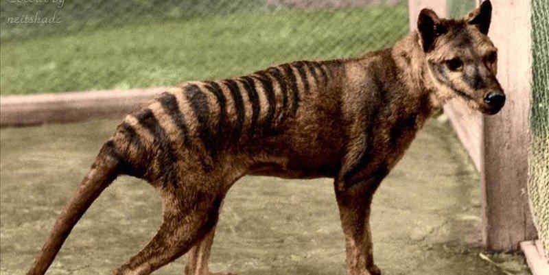 El extinto tigre de Tasmania era en realidad un canguro con piel de lobo
