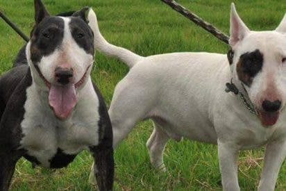 Unos perros Bull Terrier arrancan las orejas a un niño de tres años en Madrid