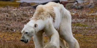 Este oso polar desnutrido muestra el terrible impacto del cambio climático