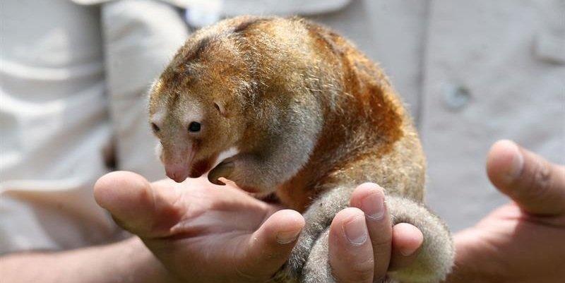 Investigadores descubren seis nuevas especies de oso hormiguero sedoso