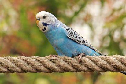 La interacción social anula la genética en el canto de las aves