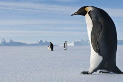 Un fósil demuestra que los pingüinos fueron tan altos como los seres humanos