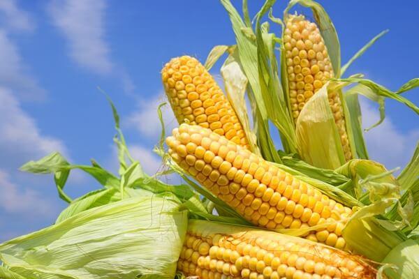 mazorcas de maíz